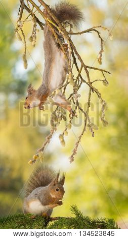 red squirrel haning in branch with willow flowers with a squirrel under it