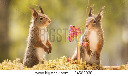 red squirrels standing on moss with lila flowers l
