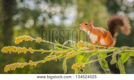 red squirrels standing on branch with flowers and bumblebee