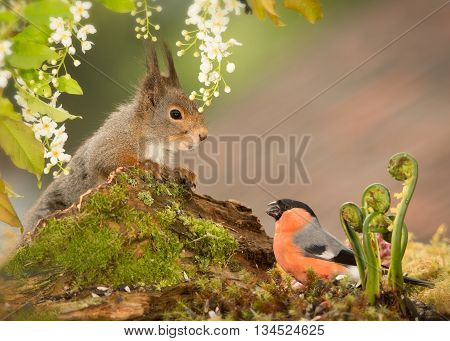 close up of a red squirrel and a male bullfinch with ferns