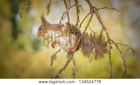 red squirrel standing on branch holding a branch with willow flowers