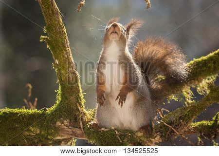 red squirrel standing on tree trunk with moss looking up with main focus on mouth and claws