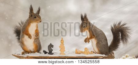 close up of red squirrels playing chess in the snow while snowing