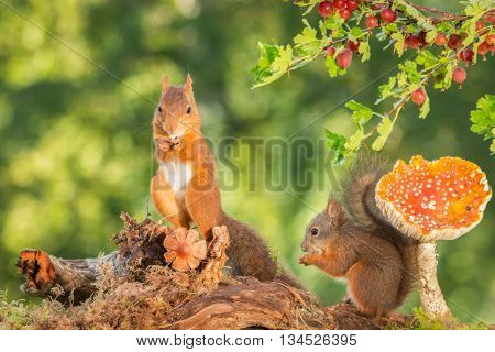 red squirrel and young standing with mushrooms and gooseberries