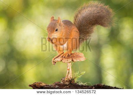 red squirrels standing on mushroom looking down