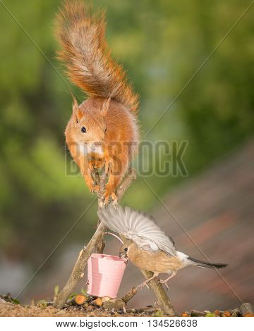 red squirrel on a fire place with young bullfinch under with spread wings