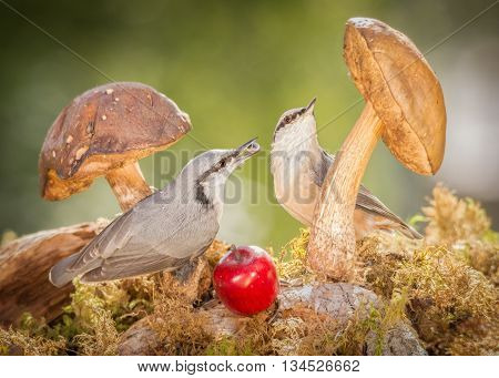 two nuthatch standing with mushrooms and seed in mouth