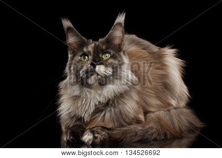 Brown Maine Coon Cat Lying and Looks Curious Isolated on Black Background, Front view