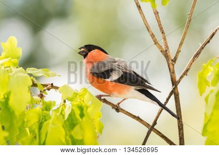 male bullfinch standing on branch with leaves