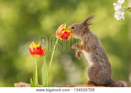 red squirrel with nose in tulip and branch with apple blossom in corner