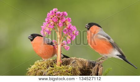 two male bullfinch standing on tree trunk with moss and flower