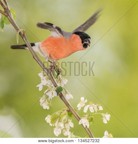 male bullfinch standing on branch with apple blossoms and spread blurry wings