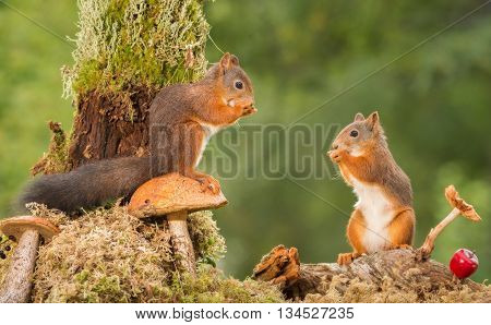 two dult red squirrels standing with mushrooms