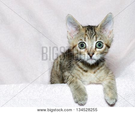 six week old striped tabby kitten on a pink blanket paws over edge looking surprised waiting watching.