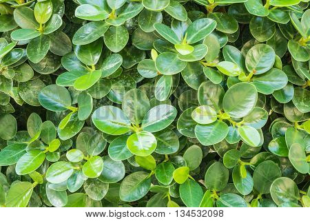 Closeup surface leaves pattern at green leaves texture background