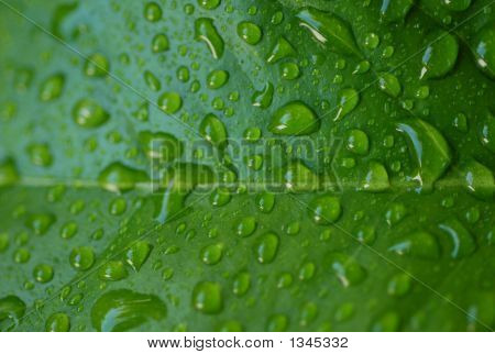 Drops On The Green Leaf