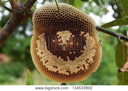 Bees on honeycomb in nature, South India