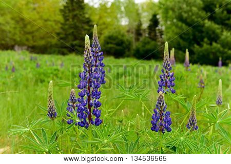 Fresh Violet Lupine  Field