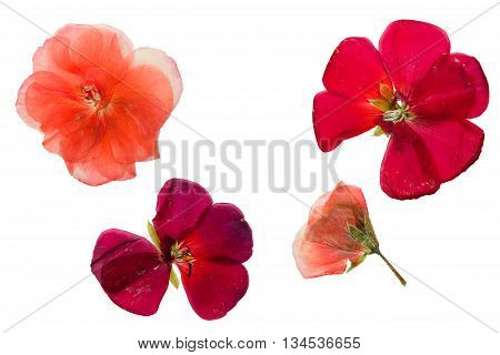 Pressed and dried crimson-red and salmon color flowers geranium (Pelargonium). Isolated on white background.