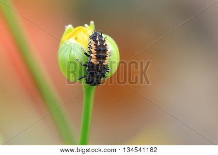 Harlequin Ladybird Larvae on a yellow osteospermum bud