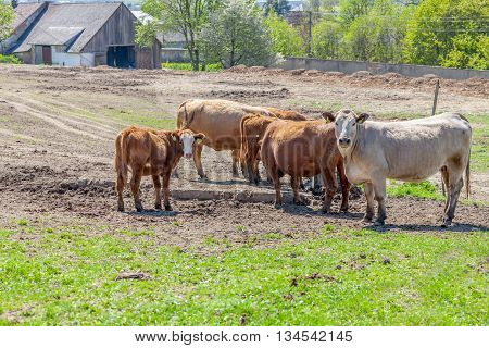 Brown and grey cows grazing on pasture