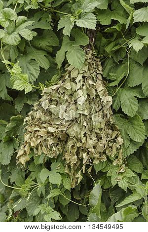 bunch of green birch twigs in hop close up