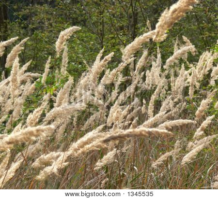 Dry Grass On A Wind