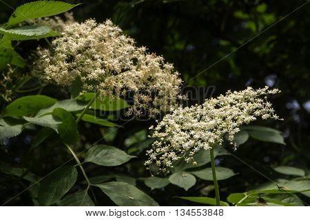 blooming elder(Sambucus nigra) on the bush in the garden selected focus and a narrow depth of field