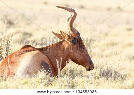 Day Dreaming - Red Harte-beest - Alcelaphus Buselaphus Caama
