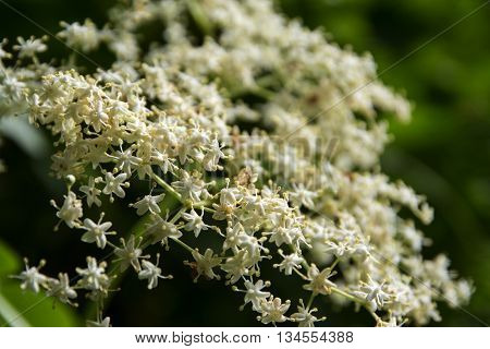 detail of an elderflower umbel (Sambucus nigra) in the garden closeup with selected focus and a very narrow depth of field