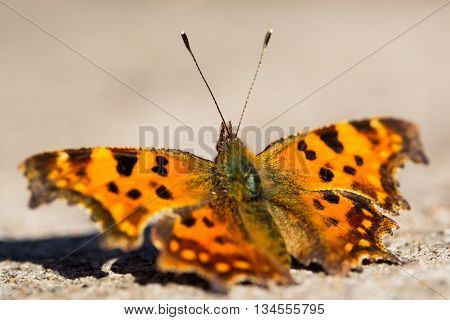 Polygonia c-album / Nymphalis c-album butterfly with smooth natural background