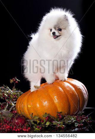 puppy Pomeranian spitz white color