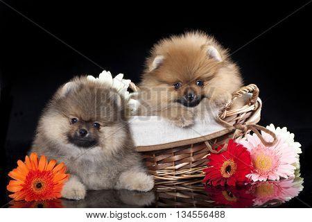 puppy Pomeranian spitz