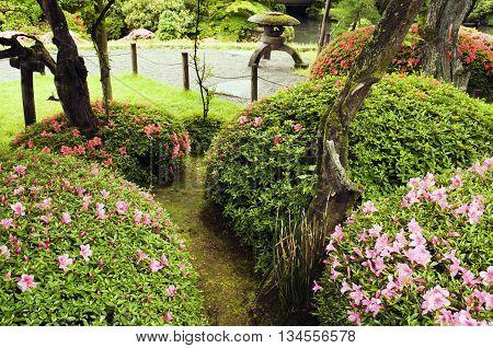blossom azalea bushes in Japanese zen garden