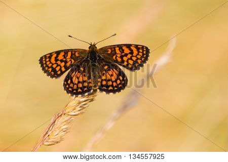 Beautiful Melitaea athalia butterfly with golden background