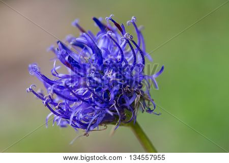 beautiful blue flower (Phyteuma orbiculare) blooming on smooth background