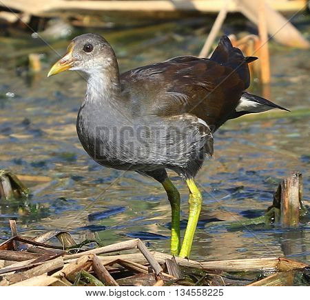 juvenile Common Moorhen, swamp in Songkhla, Thailand