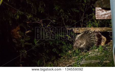 Porcupine come out at night for food
