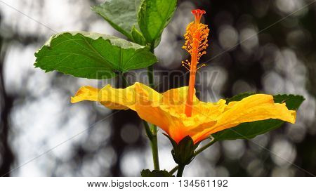 A beautiful yellow colored tropical flower showing its details in a closeup view.