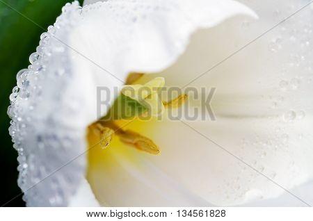 Macro Photo White Tulip Head On A Full Background Horizontal