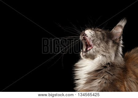 Close-up Portrait of Yawning Maine Coon Cat With Opened Mouth Isolated on Black Background, Side view