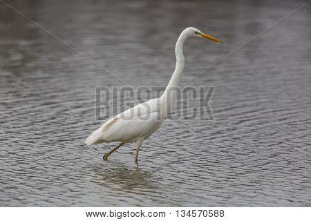 Great white Egret (egretta alba) wading through the water