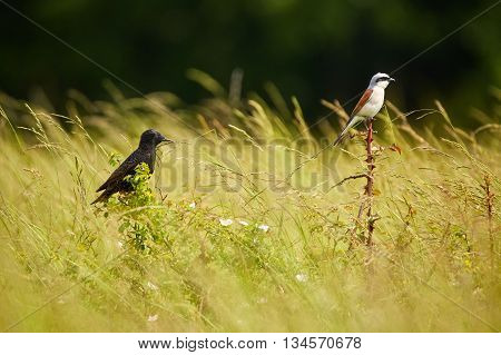 Starling And Red Backed Shrike In The Grass