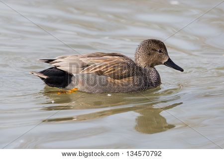 male gadwall duck (Anas strepera) swimming in the water