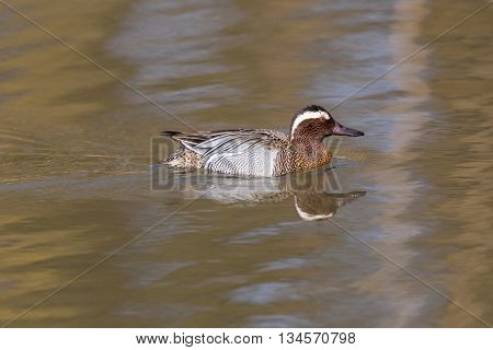 male garganey duck (Anas querquedula) swimming in a lake