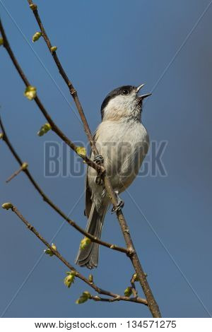 singing marsh tit  (Poecile palustris/Parus palustris) and sitting on a branch