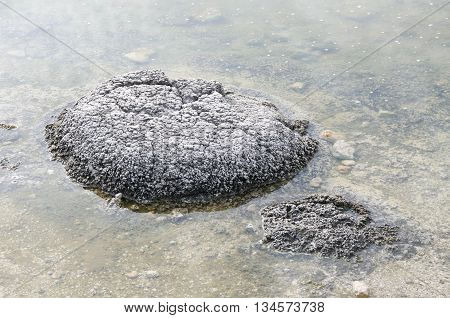 Closeup of stromatolites, living marine fossils, in the shallow waters at Lake Thetis in Western Australia.