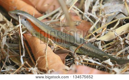 Common Sun Skink in swamp leaf litter near Songkhla, Thailand