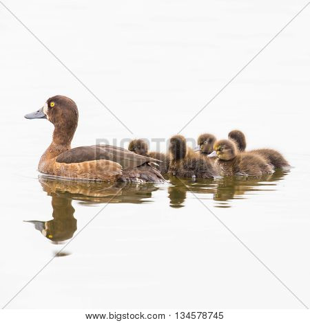Female tufted duck with offspring on natural white background