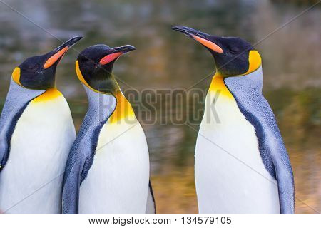Three penguins in discussion in natural environment